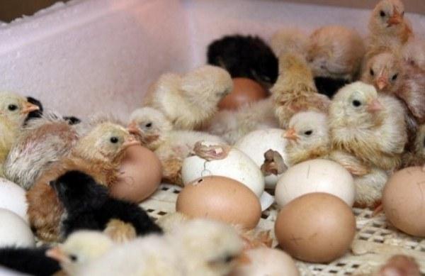 يفقس الدجاج من البيض