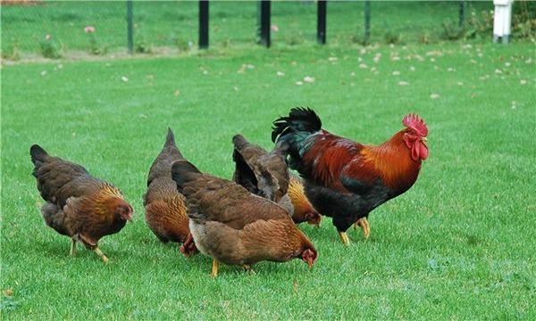 الدجاج على المدى