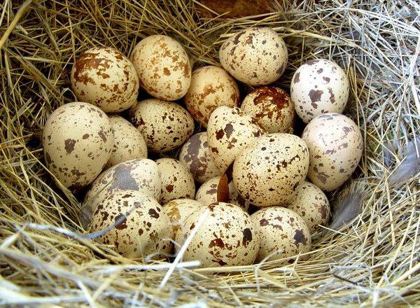 احتضان البيض السمان