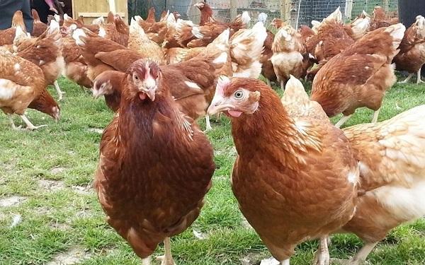 الدجاج الرودونيت