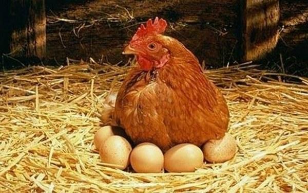 تغذية الدجاج البياض