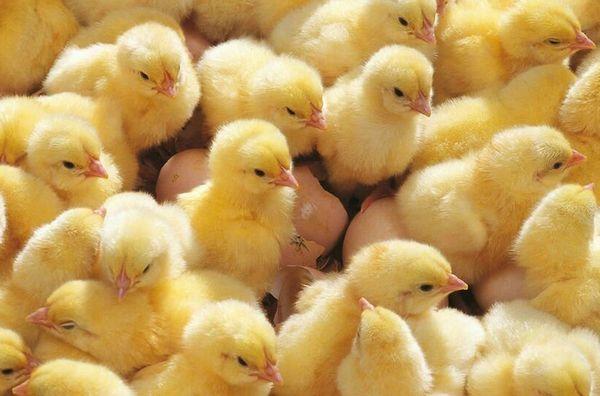 حاضنات الدجاج