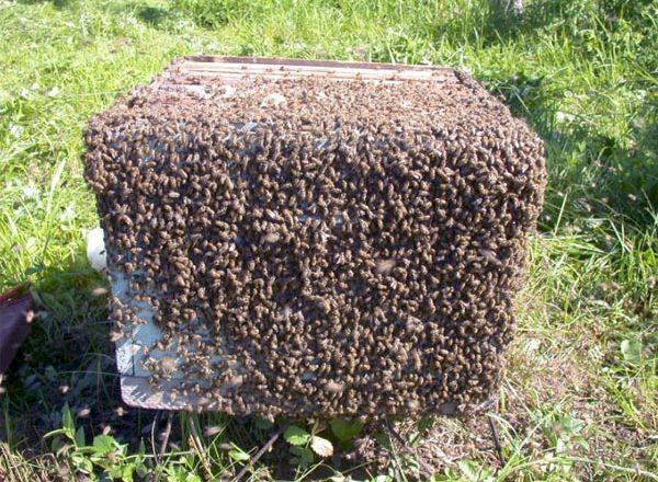 احتشد النحل