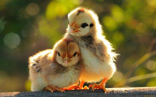 الدجاج المتنامي في المنزل