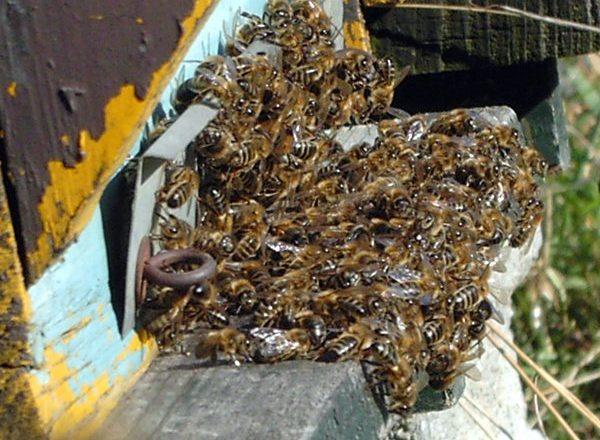 النحل الميت
