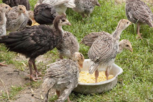 تركيا poults