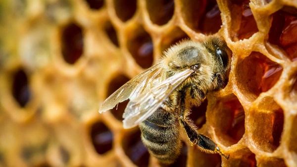 النحل على قرص العسل