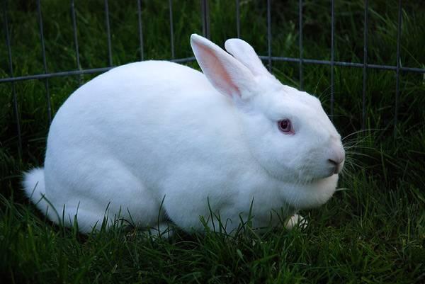 الأرنب الأبيض في الوادي