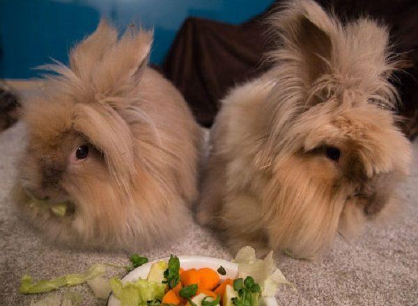 ما لإطعام أرنب