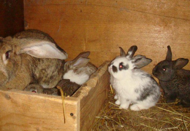الحمل أرنب