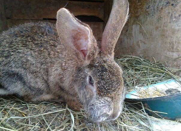 ورم مخاطي في الأرانب