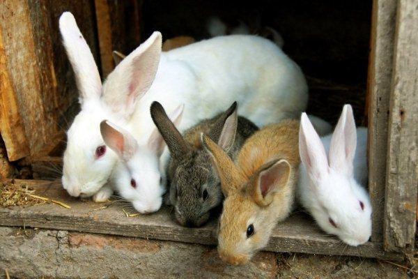 الأرانب