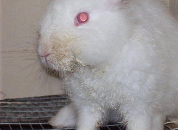 التهاب الفم المعدي في الأرانب