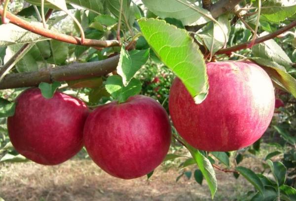أصناف شجرة التفاح المجد للفائزين: الصفات الوصفية