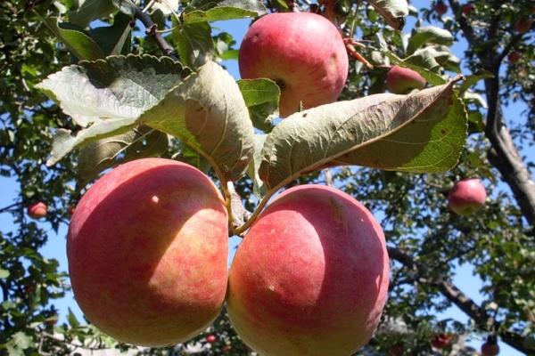 أصناف التفاح Zhigulevskoe: الخصائص الوصفية ، تاريخ الانتخاب