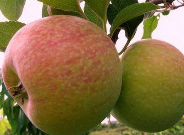مجموعة متنوعة من أشجار التفاح الحلوى: الخصائص الوصفية وقواعد الغرس والرعاية