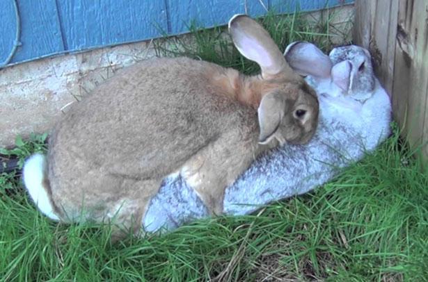 حالة الأرنب