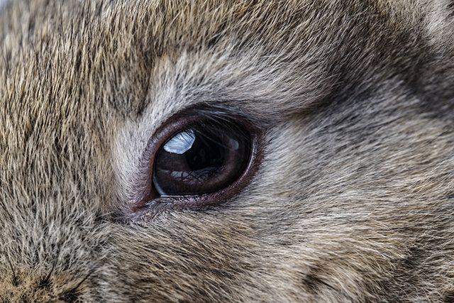 أمراض عين الأرنب