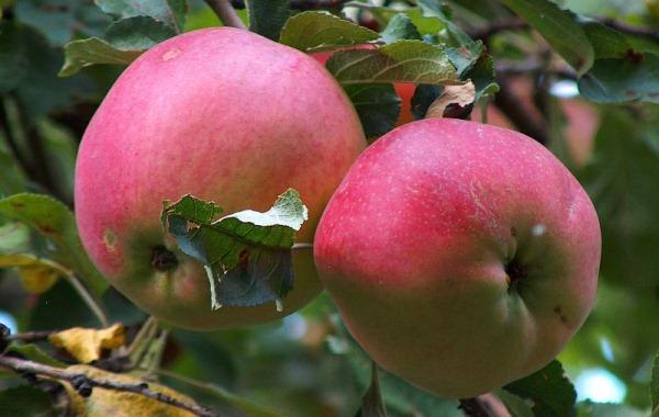 تفاحة aport