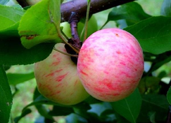 التفاح الكمثرى