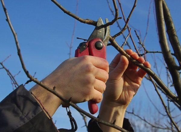 مخطط وميزات لتقليم شجرة الكمثرى في الربيع والخريف والشتاء والصيف
