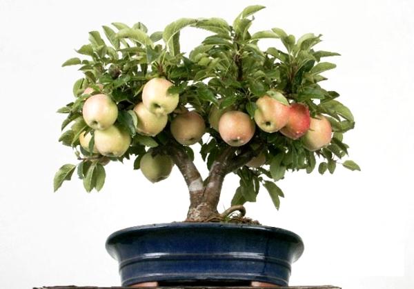 كيفية زراعة شجرة التفاح من البذور في المنزل: تعليمات
