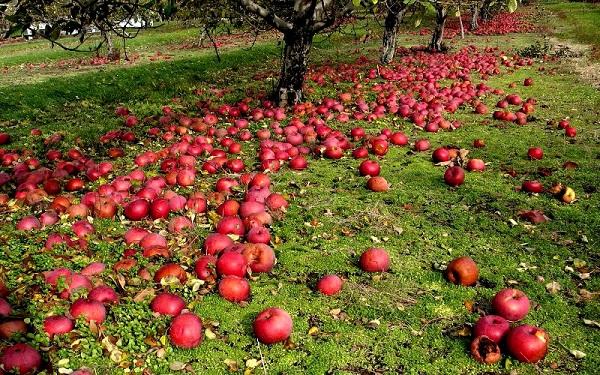 أسباب سقوط التفاح