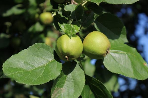ما الذي يمكن عمله وكيفية تطبيق التفاح غير الناضج؟