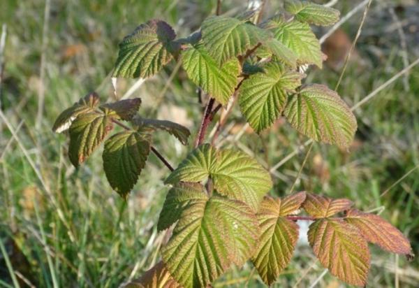 زرع التوت في الخريف: ميزات الغرس والرعاية