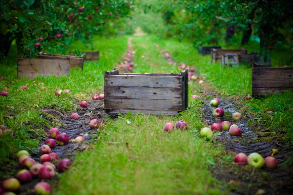 كيف ومتى لجمع التفاح للتخزين لفصل الشتاء: نصائح