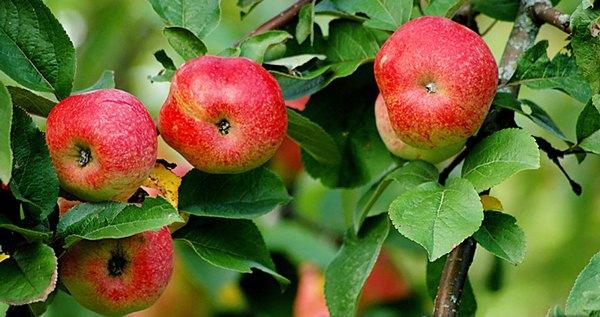 شجرة التفاح Bellefle الصينية