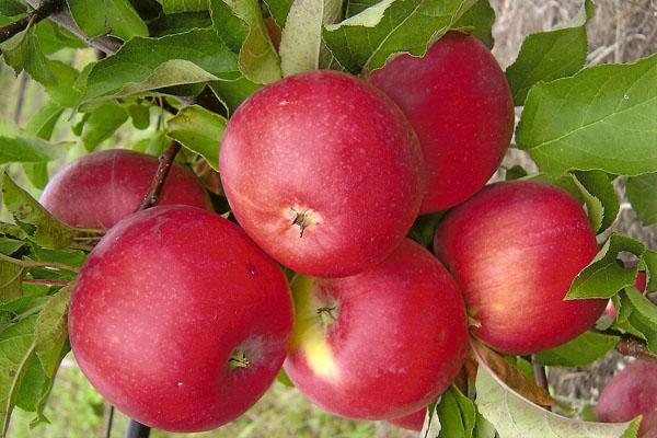 ثمار التفاح شجرة ويلسي