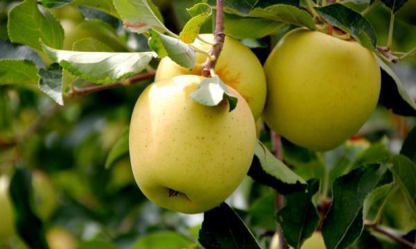التفاح الذهبي