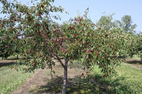 زراعة الكرز في الخريف ، ورعاية الأشجار ، توصيات مفيدة
