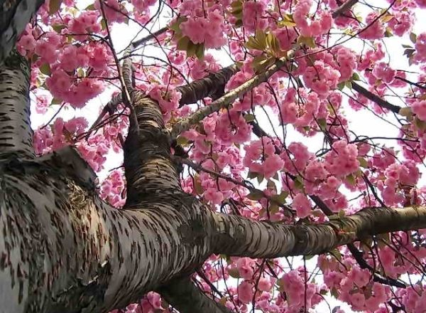 الكرز الياباني ساكورا: الخصائص الوصفية للشجرة ، والغرس ، والرعاية ، وأصناف