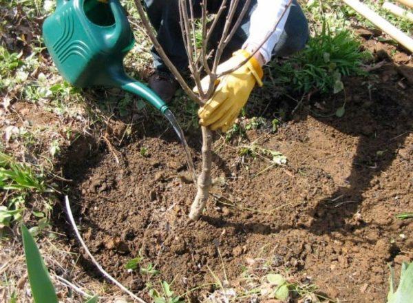مراحل وفوائد زرع الكرز في الخريف ، واختيار الشتلات والأماكن