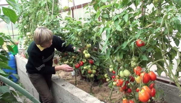 رعاية الطماطم