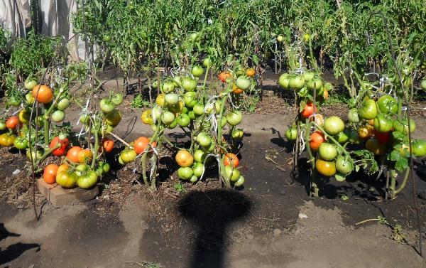 زراعة الطماطم وفقا لطريقة M. M. Maslov