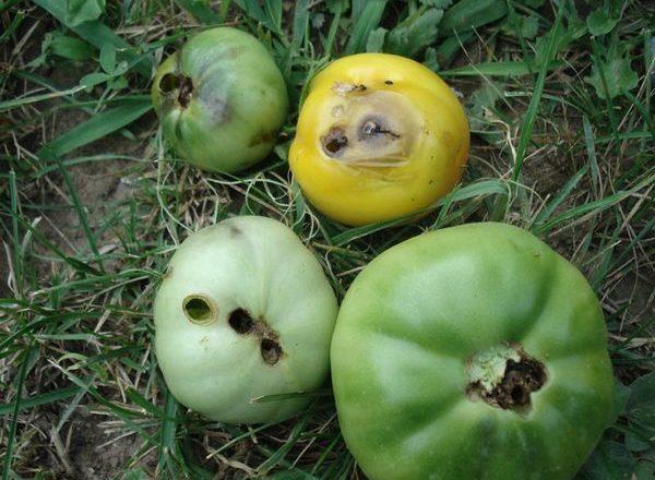 الدودة السلكية على الطماطم في دفيئة