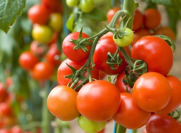 ما يمكن زراعته بعد الطماطم