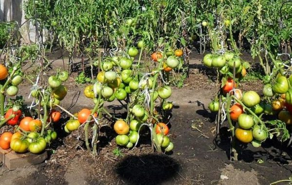 لا تحتمل فجأة الطماطم من الظل في الشمس.
