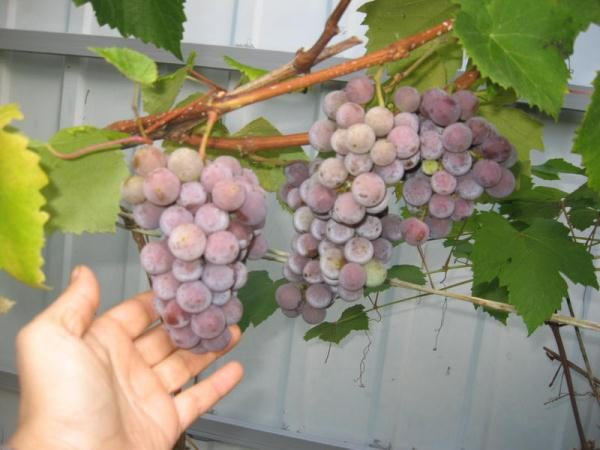 التوت لصنع النبيذ هو أفضل لجمع في منتصف الخريف