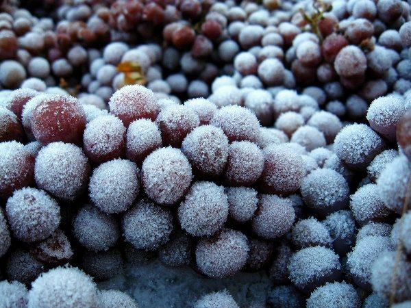 لجعل التوت النبيذ الجليد تحتاج إلى تجميد