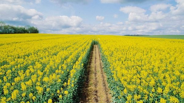 غالبًا ما تزرع الكانولا كمزرعة في الحقول