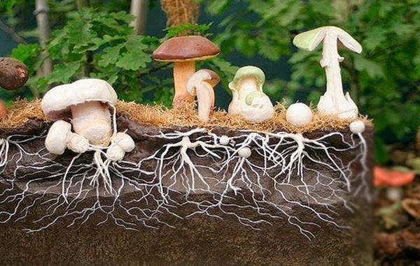 Mycelium من الفطر