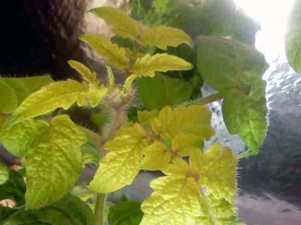 بسبب نقص النيتروجين ، تبدأ أوراق النبات في الضعف وتتحول إلى اللون الأصفر.
