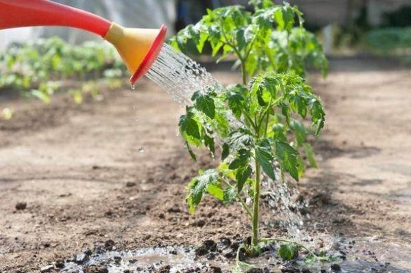 كيفية تغذية شتلات الطماطم