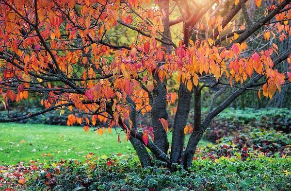 أعلى تلبيس البرقوق في الخريف