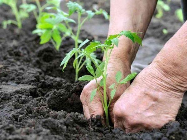 زرع الشتلات الطماطم في الدفيئة