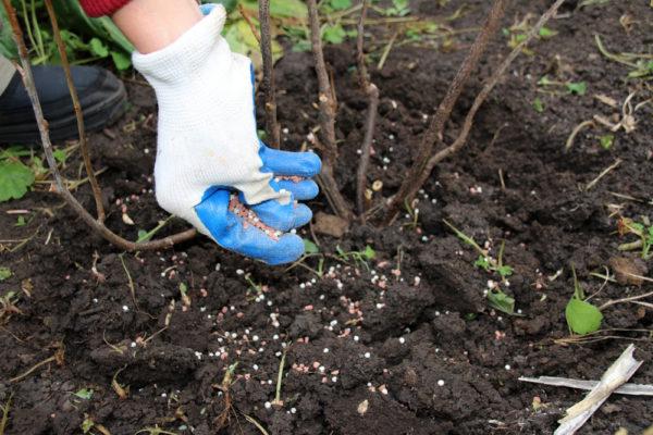 أشجار الفاكهة والشجيرات تحتاج الأسمدة بعد الاثمار
